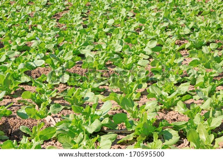 The growth of lettuce in the farm, Luannan County, Hebei Province, China