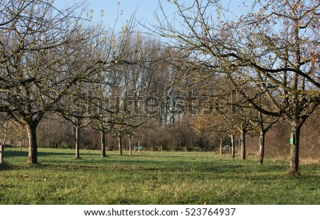 The gruff and knotty trees of an apple orchard meadow on the country side at the end of november (landscape protection area close to Dusseldorf / North-Rhine-Westphalia / Germany)