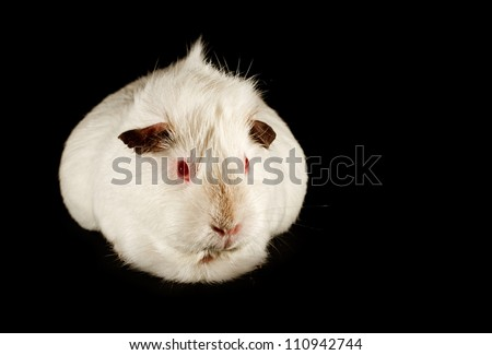 The guinea pig a common and cute small family pet available from pet shops, isolated on a black background - stock photo