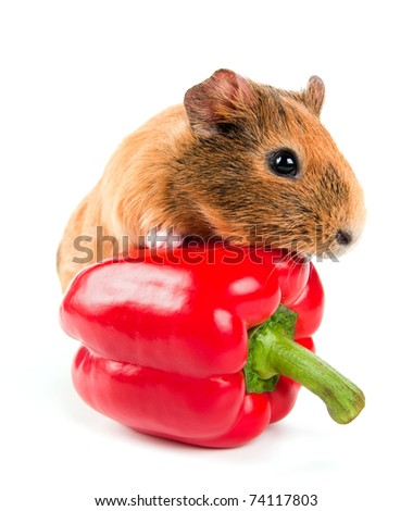 the guinea pig and a red pepper - stock photo