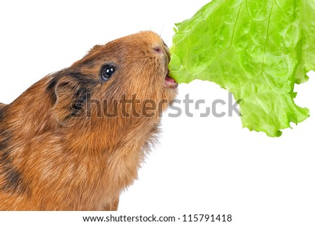 the guinea pig eats a green lettuce leaf on a white background - stock photo