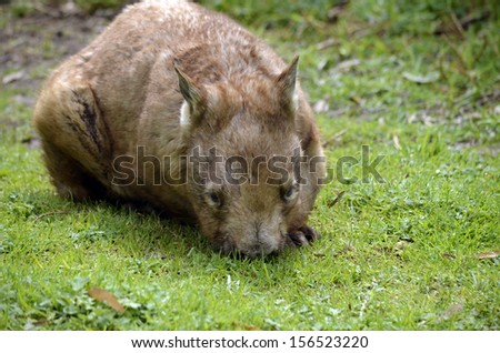 the hairy nosed wombat is eating the grass - stock photo