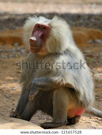 The hamadryas baboon (Papio hamadryas) is a species of baboon, being native to the Horn of Africa and the southwestern tip of the Arabian Peninsula. - stock photo