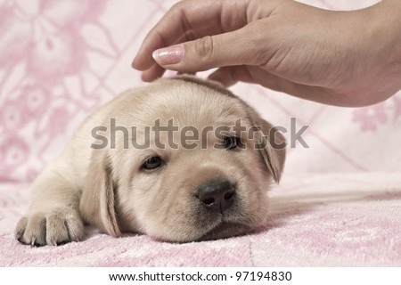 The hand irons a small puppy - stock photo