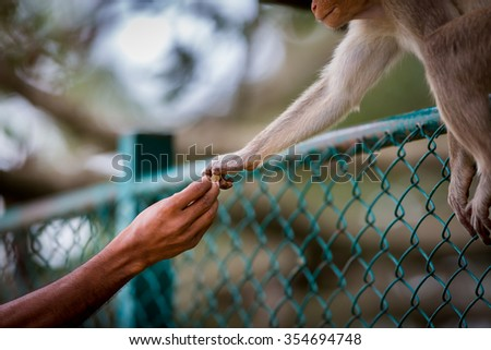 The hand of kindness and trust. These macaques respect humans but also can be dangerous. When treated with respect they are gentle and understanding, when treated with disrespect they are dangerous. - stock photo
