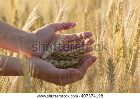 the hand on the background field of ripe wheat