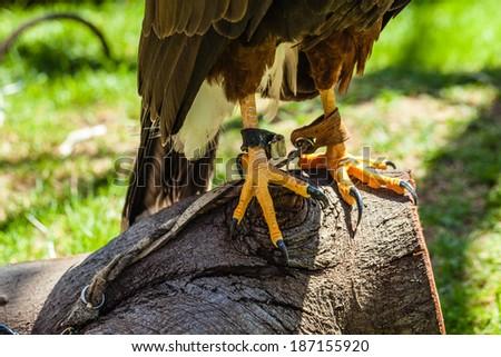 The Harris's Hawk or Harris Hawk (Parabuteo unicinctus) formerly known as the Bay-winged Hawk or Dusky Hawk - stock photo