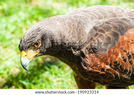 The Harris's Hawk or Harris Hawk (Parabuteo unicinctus) formerly known as the Bay-winged Hawk or Dusky Hawk - stock photo
