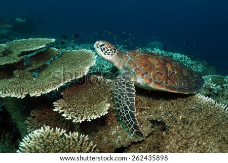 The hawksbill sea turtle (Eretmochelys imbricata) is a critically endangered sea turtle belonging to the family Cheloniidae. Sipadan island Malaysia.               - stock photo