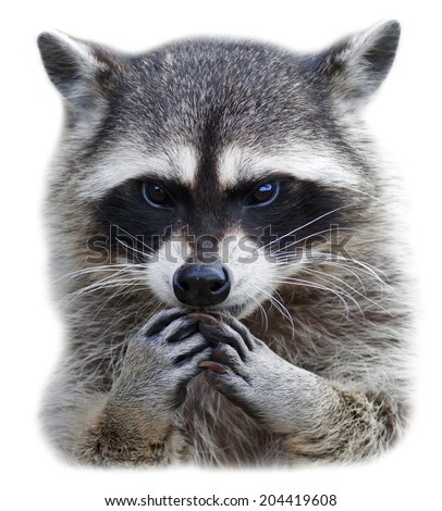 The head and hands of a cute and cuddly raccoon, isolated on white background. Side face portrait of excellent representative of the wildlife. Human like embarrassed expression on the animal face.  - stock photo