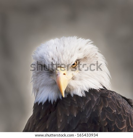 The head and shoulders of a bald eagle, haliaeetus leucocephalus, on gray background. Side face portrait of an American eagle, US national character, very beautiful bird with frowning expression. - stock photo