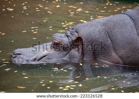 The head close up of hippo in the water.  - stock photo