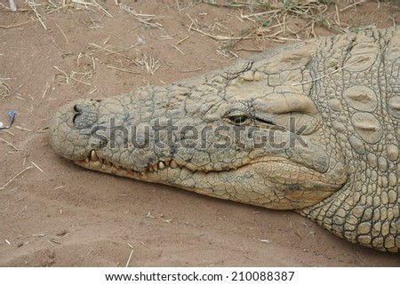 The head of a crocodile in Africa