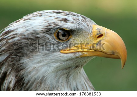 The head of a female Bald Eagle at a bird sanctuary near Otavalo, Ecuador