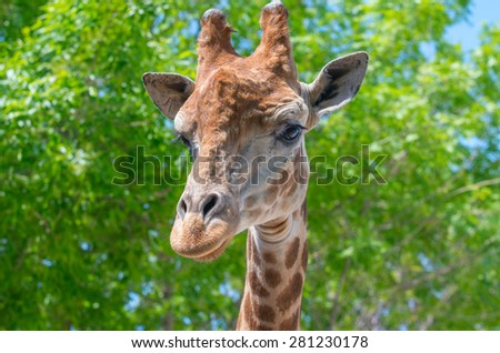 The head of a giraffe against a background of trees. Natural composition - stock photo