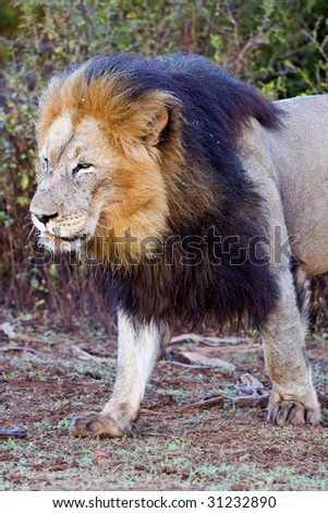 The Head of a magnificent African male Lion - stock photo