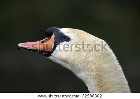 The head of a mute swan with water in the background