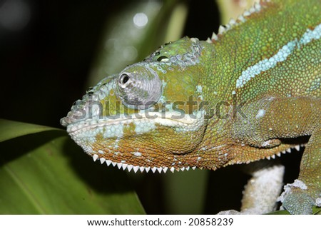 The head of a Panther Chameleon sitting in among leaves - stock photo