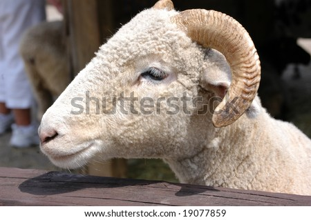 The head of a ram at a petting zoo - stock photo