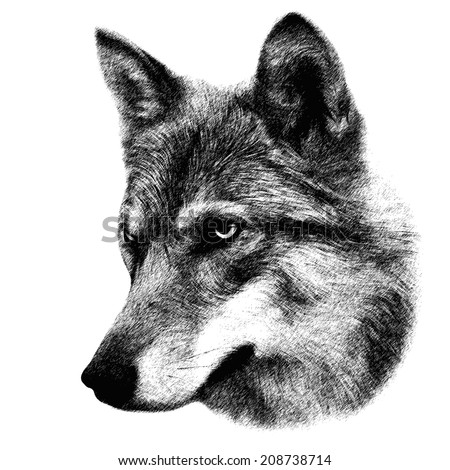 The head of a wolf, isolated on white background. Side face portrait of the forest dangerous, but beautiful beast, Canis lupus lupus. Amazing grayscale image. Great for user pic, icon, label, tattoo.  - stock photo