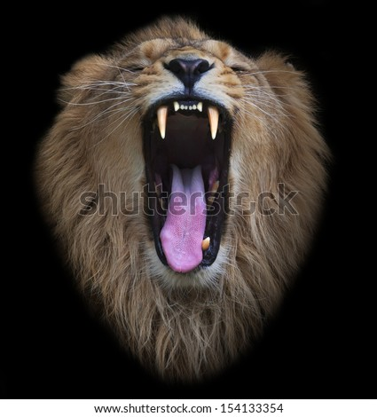 The head of a yawning Asian lion, isolated on black background. The King of beasts, biggest cat of the world. The most dangerous and mighty predator of the world shows his huge fangs. - stock photo
