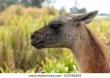 The head of an adult brown llama with a grey face looking over the plants at a farmers pasture in Cotacachi, Ecuador