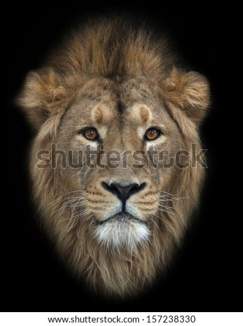 The head of an Asian lion, isolated on black background. The King of beasts, biggest cat of the world. The most dangerous and mighty predator of the world. Wild beauty of the nature. - stock photo