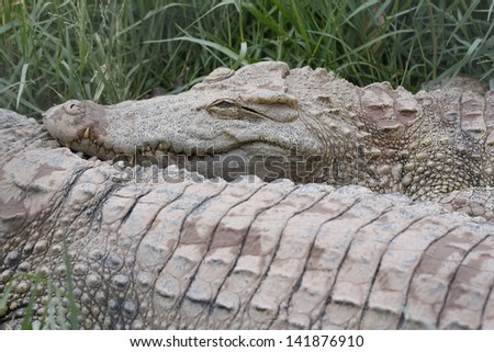 The head of large freshwater crocodile.