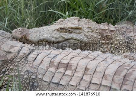 The head of large freshwater crocodile. - stock photo