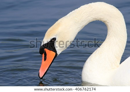 The head of the adult fed white swan on all screen