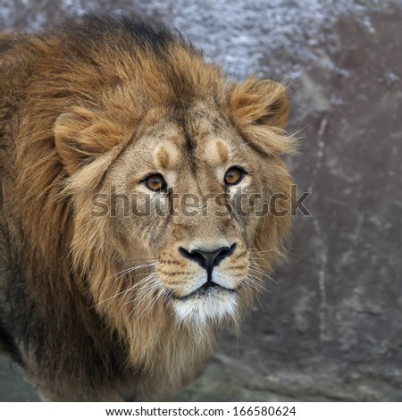The head with shaggy mane of a lion. The young Asian lion on snow background. Winter cold is not bad weather for the King of beasts, the biggest cat of the world. Beauty of the wild nature. - stock photo