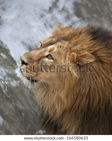 The head with shaggy mane of a lion with snowflakes on his forehead. The young Asian lion on snow background. Winter cold is not bad weather for the King of beasts. Beauty of the wild nature.