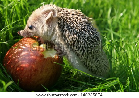 The hedgehog eats an apple - stock photo