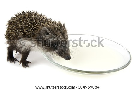 the hedgehog on a white background - stock photo