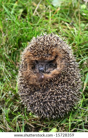 The hedgehog sitting in a grass has exposed the prickles what to be protected from an attack