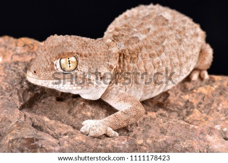 The helmeted gecko (Tarentola chazaliae) is native to Western Sahara, Mauritania and Morocco in zones near the coast where the humidity is high.