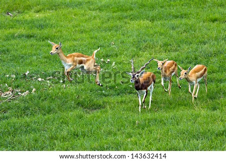 The herd of antelopes Impala in a zoo. - stock photo