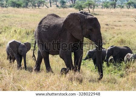 The herd of elephants in Ngorogoro Nature Reserve, Tanzania - stock photo
