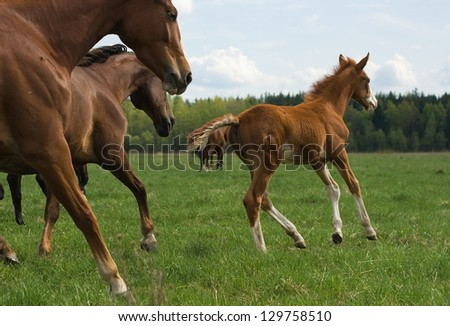 The herd of horses runs through a pasture. - stock photo
