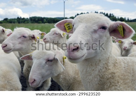 The herd of one year old  lambs on farm