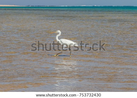 The heron hunts fish on the shores of the Red Sea. Egypt, Sharm-el-Sheikh