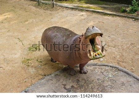 The hippopotamus is semi-aquatic, inhabiting rivers and lakes where territorial bulls preside over a stretch of river and groups of 5 to 30 females and young.