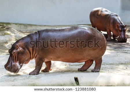 The hippopotamus is semi-aquatic, inhabiting rivers and lakes where territorial bulls preside over a stretch of river and groups of 5 to 30 females and young - stock photo