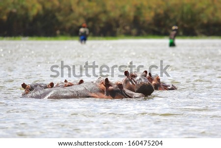 """The hippopotamus or hippo in Lake Naivasha at Kenya, from the ancient Greek for """"river horse"""", is a large, mostly herbivorous mammal in sub-Saharan Africa./ Hippopotamus With Cub. - stock photo"""