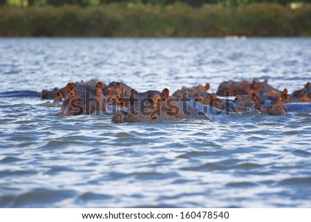 """The hippopotamus or hippo in Lake Naivasha, Kenya, from the ancient Greek for """"river horse"""", is a large, mostly herbivorous mammal in sub-Saharan Africa./ Hippopotamus With Cub. - stock photo"""