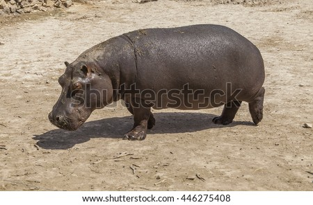 The hippopotamus walks in the natural park in Spain