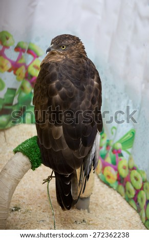 The Honey Buzzard Bird Honey Buzzard - day predator family of hawk squad birds of prey. Bird of medium size, with a wingspan of about 1.2 m. Distributed over much of Europe and West Asia. - stock photo