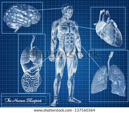 The Human Blueprint concept, body, heart, lungs, brain and internal organs - stock photo