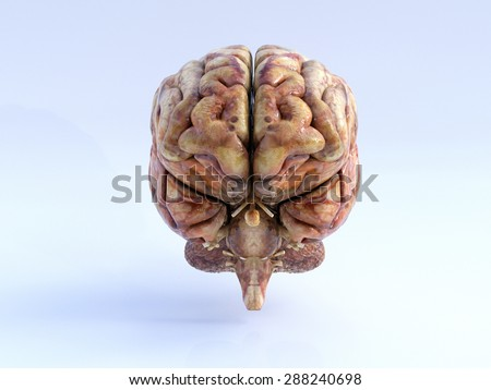 The Human Brain. Front View. Physical 3D Render. - stock photo