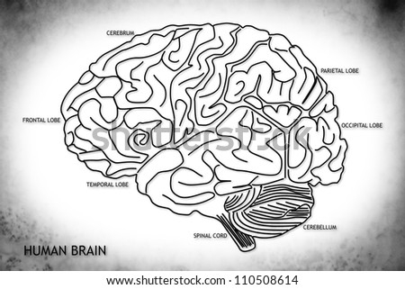 The human brain structure - stock photo